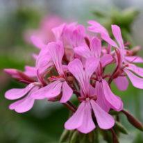 PELARGONIUM zonale. Species Pelargonium - Woottens Plant Nursery