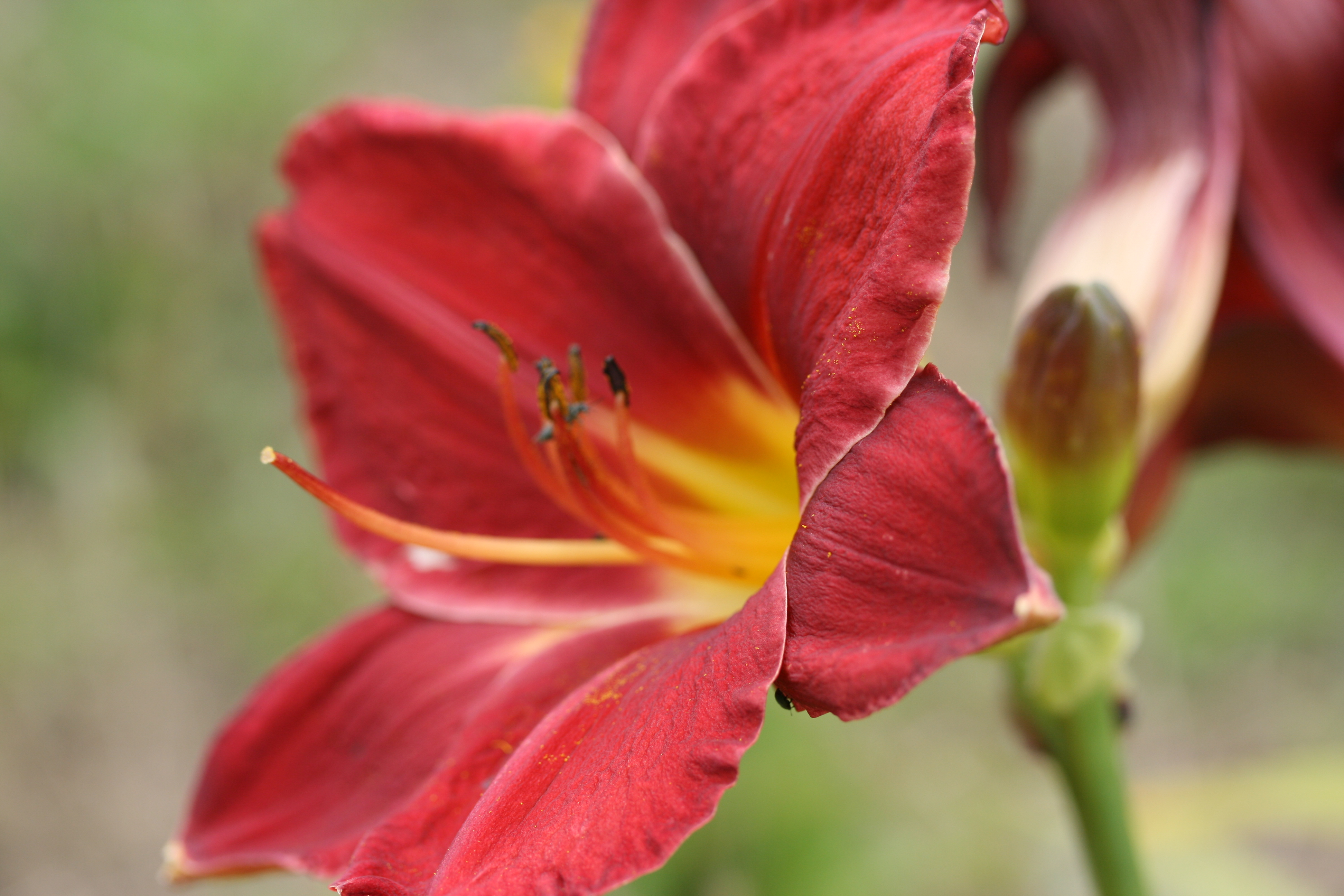 GARDENS ILLUSTRATED Hemerocallis Collection 2 Red Forms photo