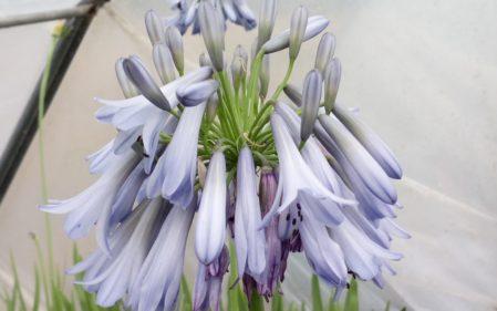 Agapanthus Celebration - Woottens Plants